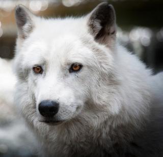 White Wolf - Obrázkek zdarma pro iPad