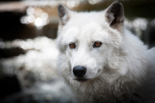 White Wolf Picture for Android, iPhone and iPad