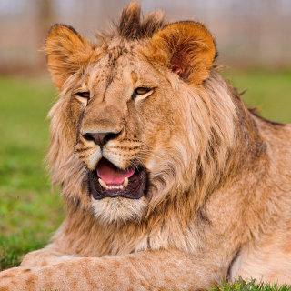 Lion in Mundulea Reserve, Namibia - Obrázkek zdarma pro iPad 2
