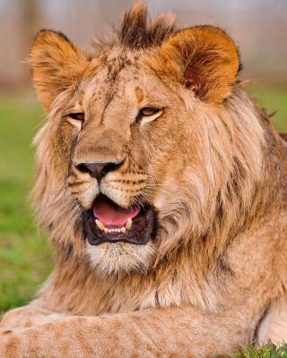 Lion in Mundulea Reserve, Namibia - Obrázkek zdarma pro Nokia Lumia 505