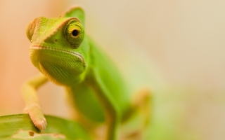Green Chameleon Picture for Android, iPhone and iPad