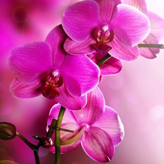 Phalaenopsis, Pink Orchids - Obrázkek zdarma pro 1024x1024