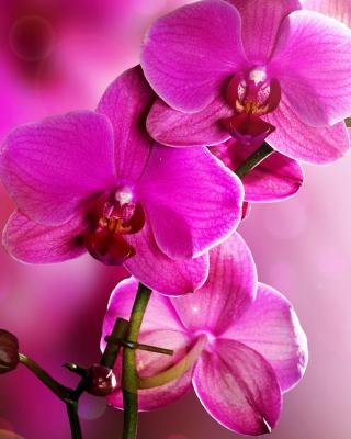 Phalaenopsis, Pink Orchids - Obrázkek zdarma pro Nokia Asha 300