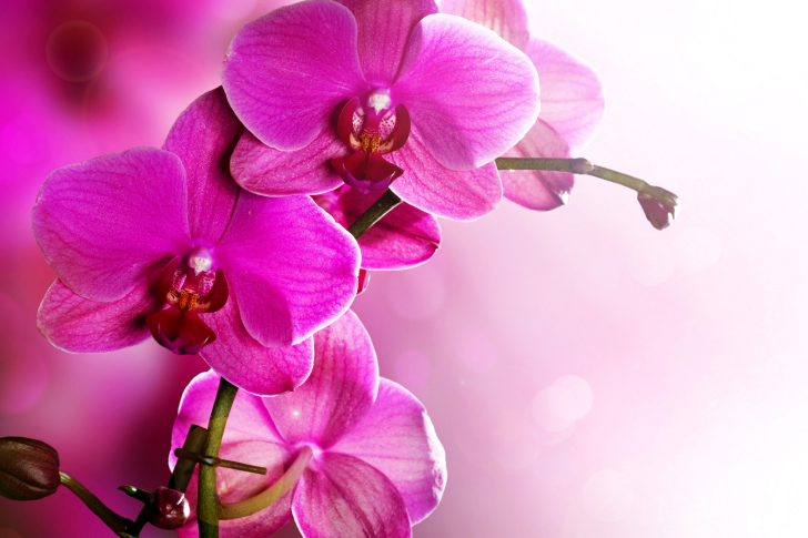 phalaenopsis orchid wallpapers pictures - photo #12