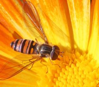 Bee On Flower - Obrázkek zdarma pro 128x128