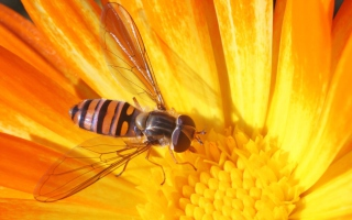 Free Bee On Flower Picture for Android, iPhone and iPad