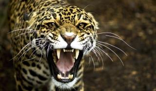 Cheetah - Obrázkek zdarma pro Samsung Galaxy S6 Active
