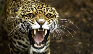 Cheetah - Obrázkek zdarma pro Samsung P1000 Galaxy Tab