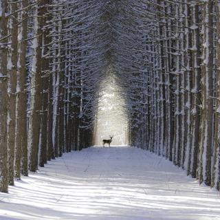 Spruce Winter Alley - Obrázkek zdarma pro 320x320