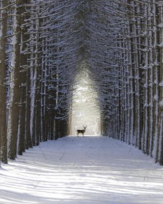 Spruce Winter Alley - Obrázkek zdarma pro 640x960