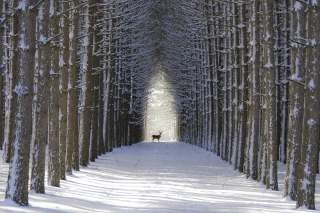 Spruce Winter Alley - Obrázkek zdarma pro 1080x960