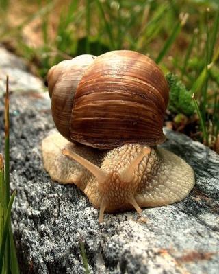 Snail On Stone - Obrázkek zdarma pro 768x1280