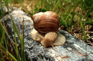 Snail On Stone - Obrázkek zdarma pro Samsung I9080 Galaxy Grand