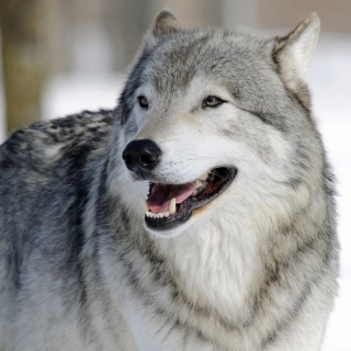 Wolf Muzzle - Obrázkek zdarma pro 208x208