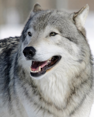 Wolf Muzzle - Obrázkek zdarma pro 480x854