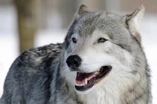 Wolf Muzzle - Obrázkek zdarma pro HTC Desire