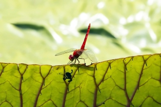 Free Dragonfly On Green Leaf Picture for Android, iPhone and iPad