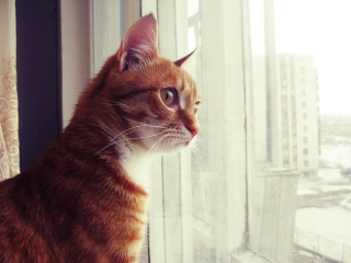 Red Cat - Obrázkek zdarma pro Fullscreen Desktop 1600x1200
