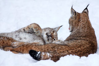 Lynx in Snow Wallpaper for Android, iPhone and iPad