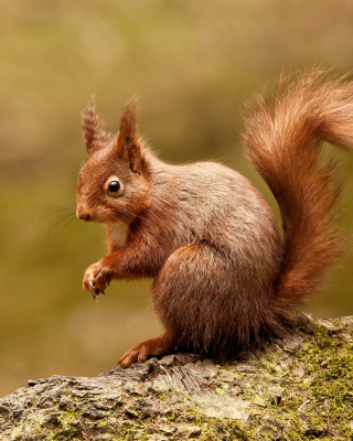 Squirrel - Obrázkek zdarma pro Nokia X6
