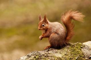Squirrel - Obrázkek zdarma pro 640x480