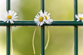 Daisies At Fence Background for Android, iPhone and iPad