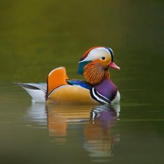 Mandarin Duck - Obrázkek zdarma pro iPad mini