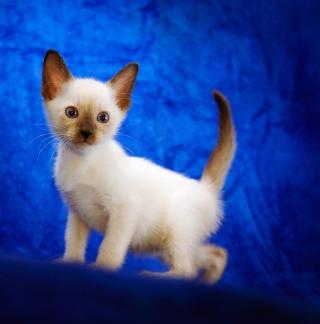 Cute Siamese Kitten - Obrázkek zdarma pro 208x208