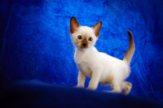Cute Siamese Kitten Wallpaper for Android, iPhone and iPad