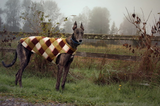 Brown Sighthound Wallpaper for Android, iPhone and iPad