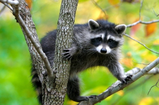 Raccoon In A Tree Background for Android, iPhone and iPad