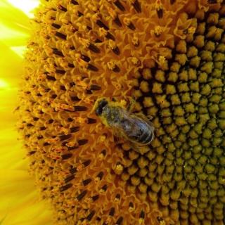 Fly On Sunflower - Obrázkek zdarma pro 1024x1024