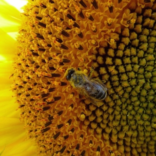 Fly On Sunflower - Obrázkek zdarma pro iPad mini 2