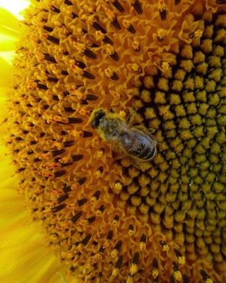 Fly On Sunflower - Obrázkek zdarma pro 640x960