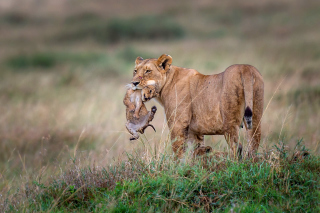 Lioness with lion cubs Picture for Android, iPhone and iPad
