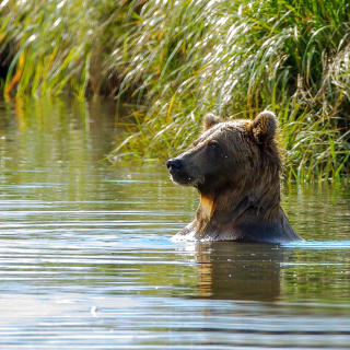 Bruiser Bear Swimming in Lake - Obrázkek zdarma pro 2048x2048