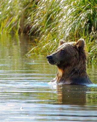 Bruiser Bear Swimming in Lake - Obrázkek zdarma pro Nokia Lumia 900
