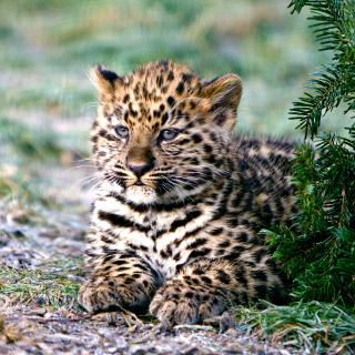 Amur Leopard Cub - Obrázkek zdarma pro iPad 2