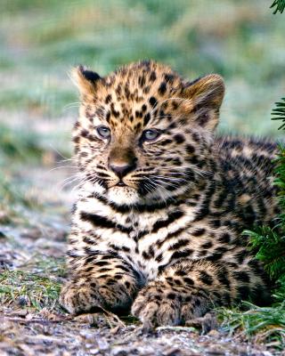 Amur Leopard Cub - Obrázkek zdarma pro Nokia C1-01