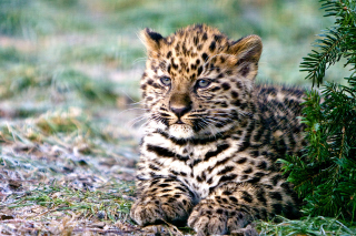 Free Amur Leopard Cub Picture for Android, iPhone and iPad