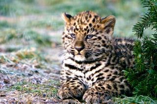 Amur Leopard Cub - Obrázkek zdarma pro Fullscreen Desktop 1400x1050