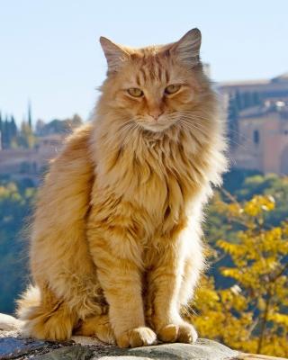 Cat in Granada, Andalusia - Obrázkek zdarma pro Nokia Asha 502