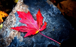 Red Maple Leaf Background for Android, iPhone and iPad