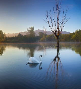White Swan On Lake - Obrázkek zdarma pro 320x320