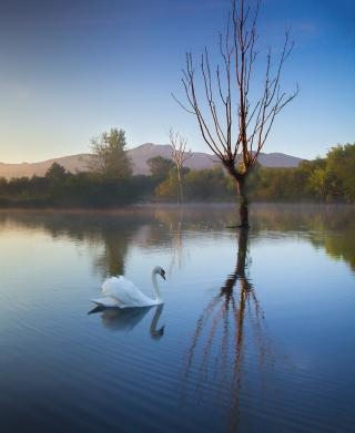 White Swan On Lake - Obrázkek zdarma pro Nokia Asha 306