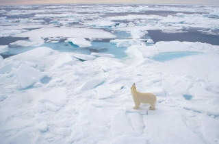 Free Polar Bear On Ice Picture for Android, iPhone and iPad