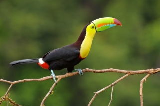 Brazilian Toco toucan - Obrázkek zdarma pro 1366x768