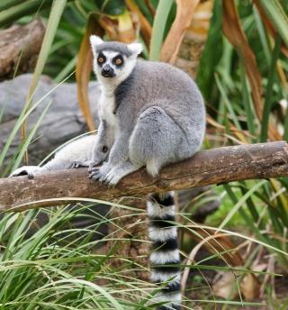 Funny Lemur - Obrázkek zdarma pro iPad