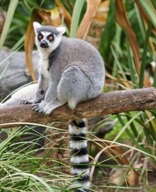 Funny Lemur - Obrázkek zdarma pro Nokia X1-01