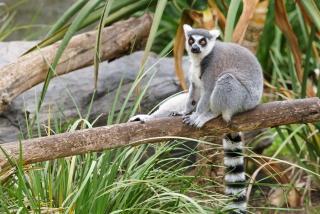 Funny Lemur - Obrázkek zdarma pro 1280x800